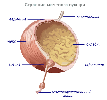 Анатомия мочевого пузыря в картинках